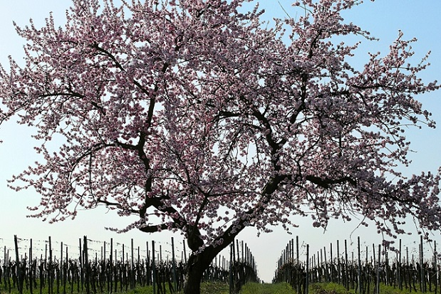 Mandelbaum im Weinberg