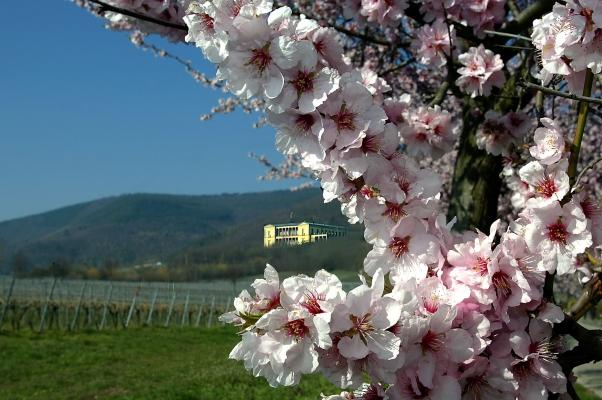 Mandelblüten mit Villa Ludwigshöhe und Weinbergen im Hintergrund